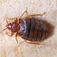 Hatfield Bed Bugs Control