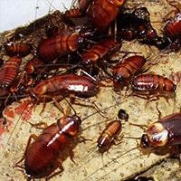 Hatfield Cockroach Control