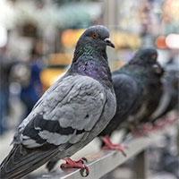 Hatfield Pigeons Control