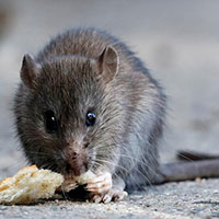 Hatfield Rats Control