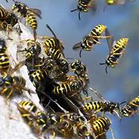 Hatfield Wasps Control