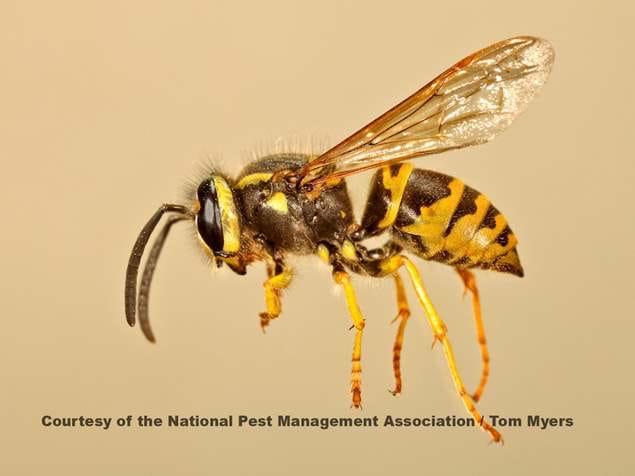 Yellowjackets - Wasps Control
