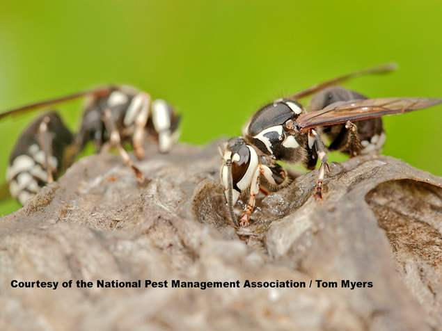 Bald-faced Hornets - Wasps Control